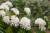 3월이면 만개하는 커피꽃.