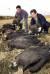판문점 대성동 마을에서 죽거나 빈사상태로 발견된 독수리. 농약이 묻은 볍씨를 뿌릴 경우 철새가 죽을 뿐만 아니라 그 사체를 먹은 독수리까지도 피해를 보게 된다. [중앙포토]