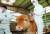경기도 안성시 금광면의 한 젖소 농가에서 구제역이 발생해 농가들이 비상이 걸린 가운데 29일 오후 광주 광역시 북구 운정동의 한 축사에서 북구청 공무원이 송아지에게 구제역 예방접종을 하고 있다. [연합뉴스]