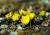 충남 태안군 소원면 천리포수목원에 봄을 알리는 복수초가 노란 자태를 뽐내고 있다. 농촌에 있는 사람들이 지금처럼 봄 기운이 느껴지기 시작하는 시기에 가장 많이 하는 말이 자연이란 말이다. <저작권자(c) 연합뉴스, 무단 전재-재배포 금지>