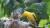지난 24일 오후 빗속에서 꾀꼬리 새끼들이 어미로부터 먹이를 받아먹고 있다. [연천지역사랑실천연대 제공]