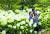 충남 서해안의 명소인 태안군 천리포수목원이 올해로 반세기를 맞았다. 활짝 핀 수국 앞에서 즐겁게 지내고 있는 관람객들. [사진 천리포수목원]