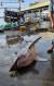 4일 오전 5시께 강릉시 주문진읍 소돌항 북동방 4.72마일 해상에서 혼획된 악상어 한 마리가 인근 항구로 옮겨져 있다.   속초해양경찰서 제공. 연합뉴스