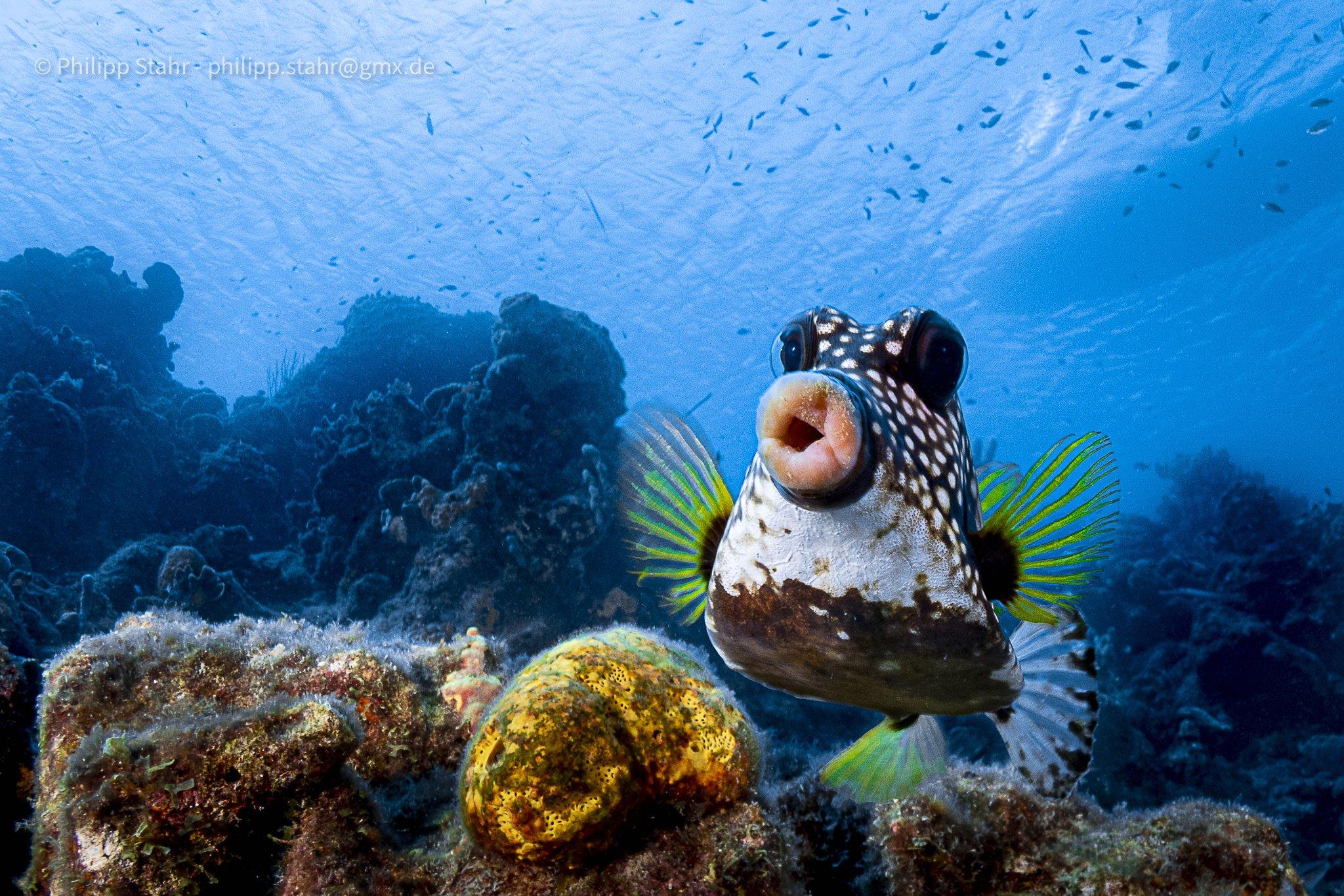 복어의 일종인 코거북복이 두툼한 입술을 뽐내며 마치 '뽀뽀'를 하려는 듯 달려들고 있다. 카리브해 남부의 퀴라소에서 포착됐다. [©Philipp Stahr/Comedywildlifephoto.com]
