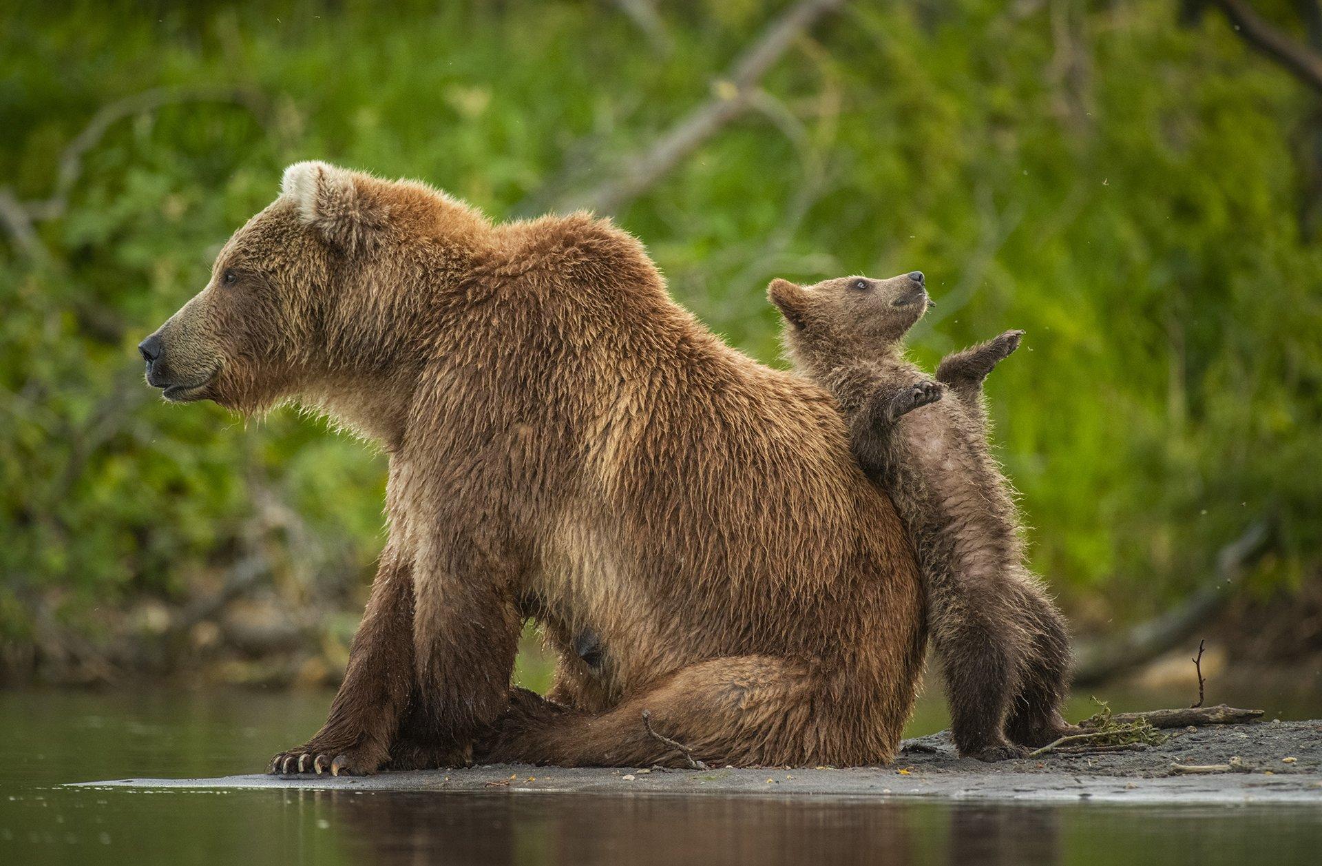 엄마불곰에 기대 서 있는 아기불곰. 러시아에서 포착됐다. [©Andy Parkinson/Comedywildlifephoto.com]