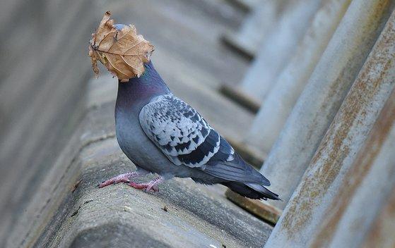 비둘기 얼굴을 가린 낙엽. 영국에서 포착됐다. [©john speirs/Comedywildlifephoto.com]