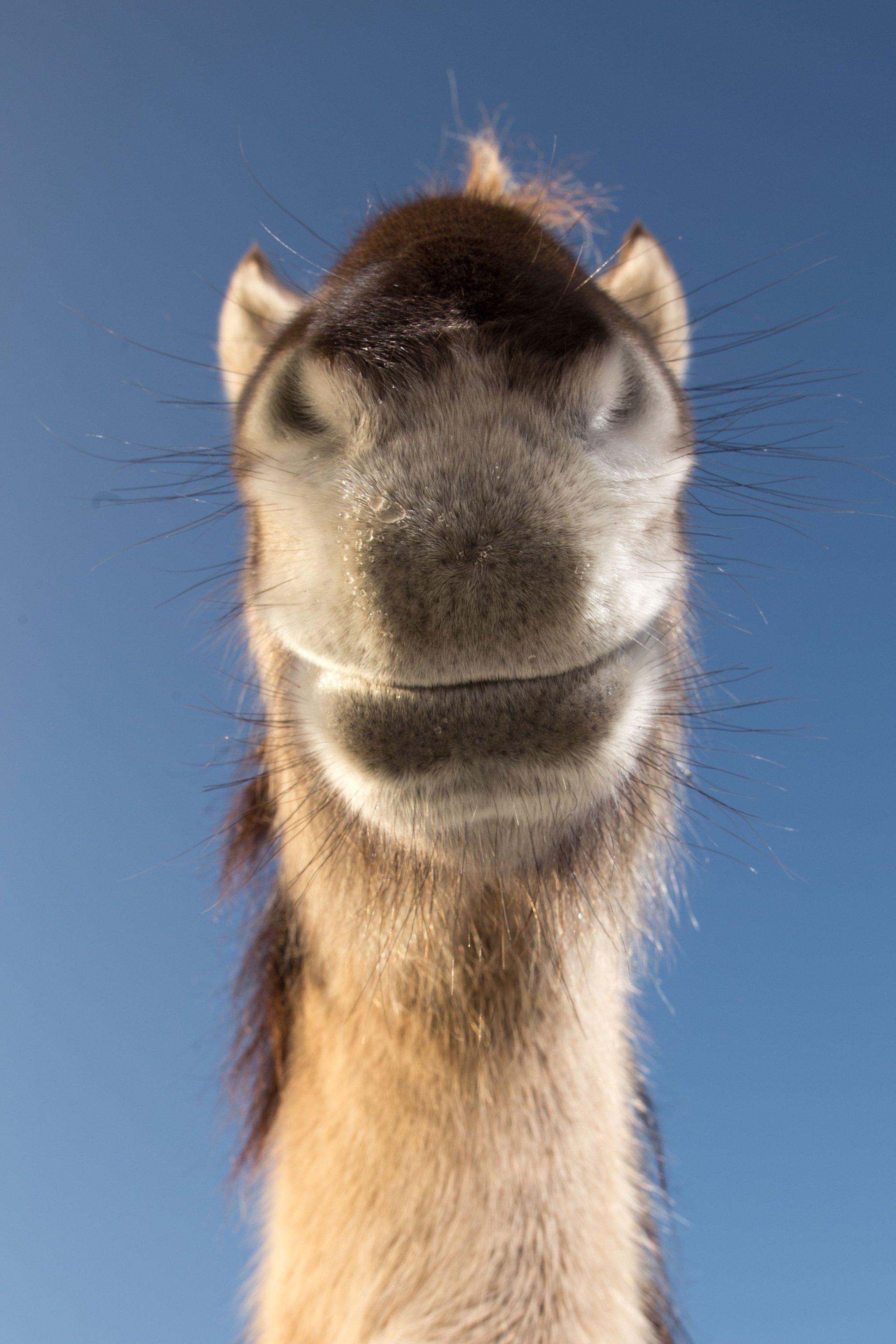 작가가 카메라를 설정하던 중 야생마가 입을 들이밀었다고 한다. 네덜란드 오오지에서 포착됐다. [©Edwin Smits/Comedywildlifephoto.com]