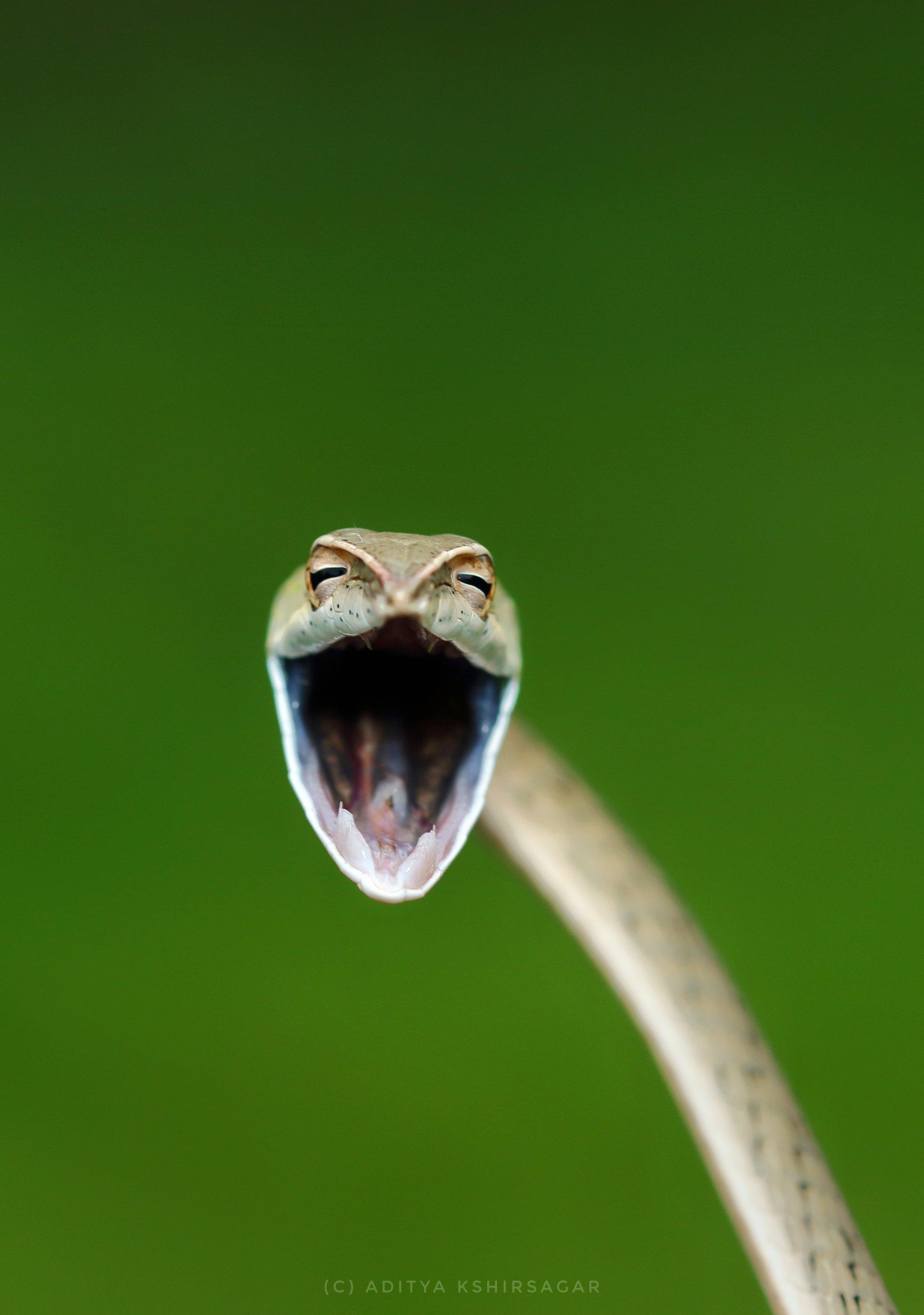 인도에서 포착된 웃는 넝쿨뱀. 다가가면 입을 크게 벌려 공격성을 보인다고 한다. [©Aditya Kshirsagar/Comedywildlifephoto.com]