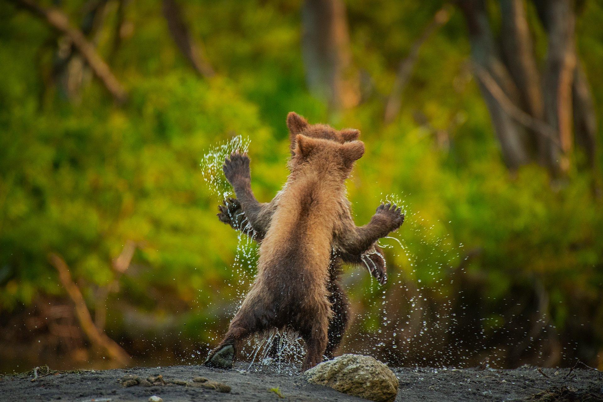 아기불곰 두 마리가 급류를 건넌 뒤 장난하고 있는 모습. [©Andy Parkinson/Comedywildlifephoto.com]