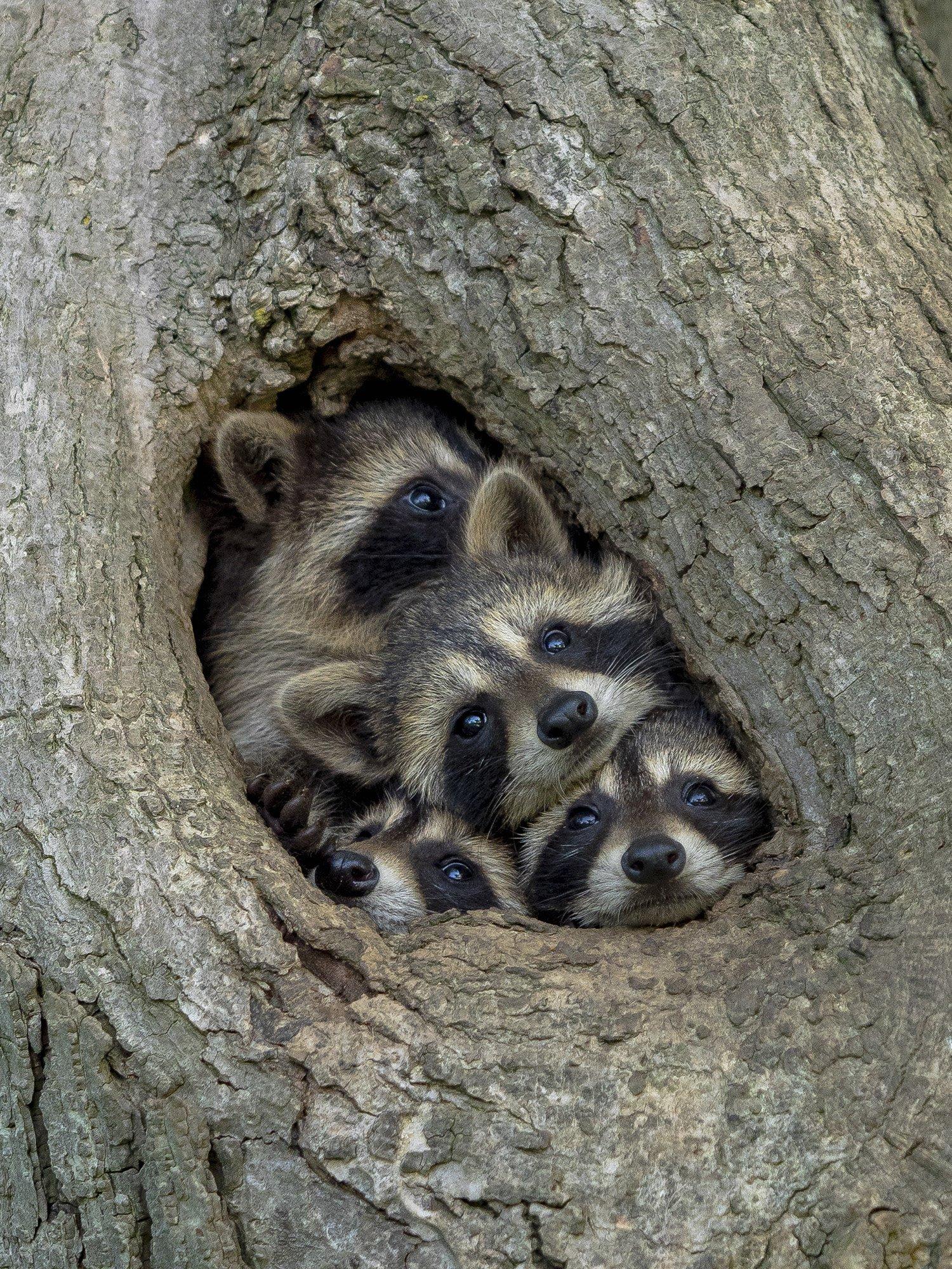 캐나다 온타리오의 산에서 한 너구리가족이 비좁은 나무 구멍에 옹기종기 모여있다. [©Kevin Biskaborn/Comedywildlifephoto.com]