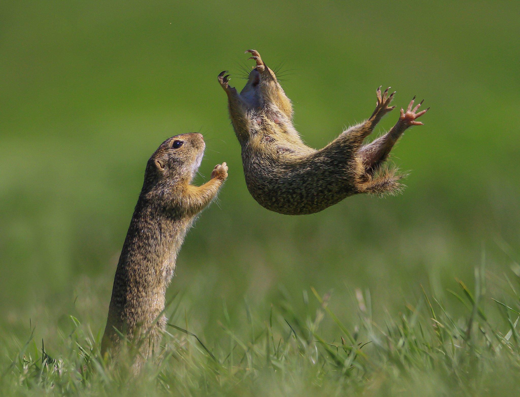 헝가리에서 포착된 얼룩다람쥐의 추락. 옆에선 기도하며 지켜보고 있다. [©Roland Kranitz /Comedywildlifephoto.com]