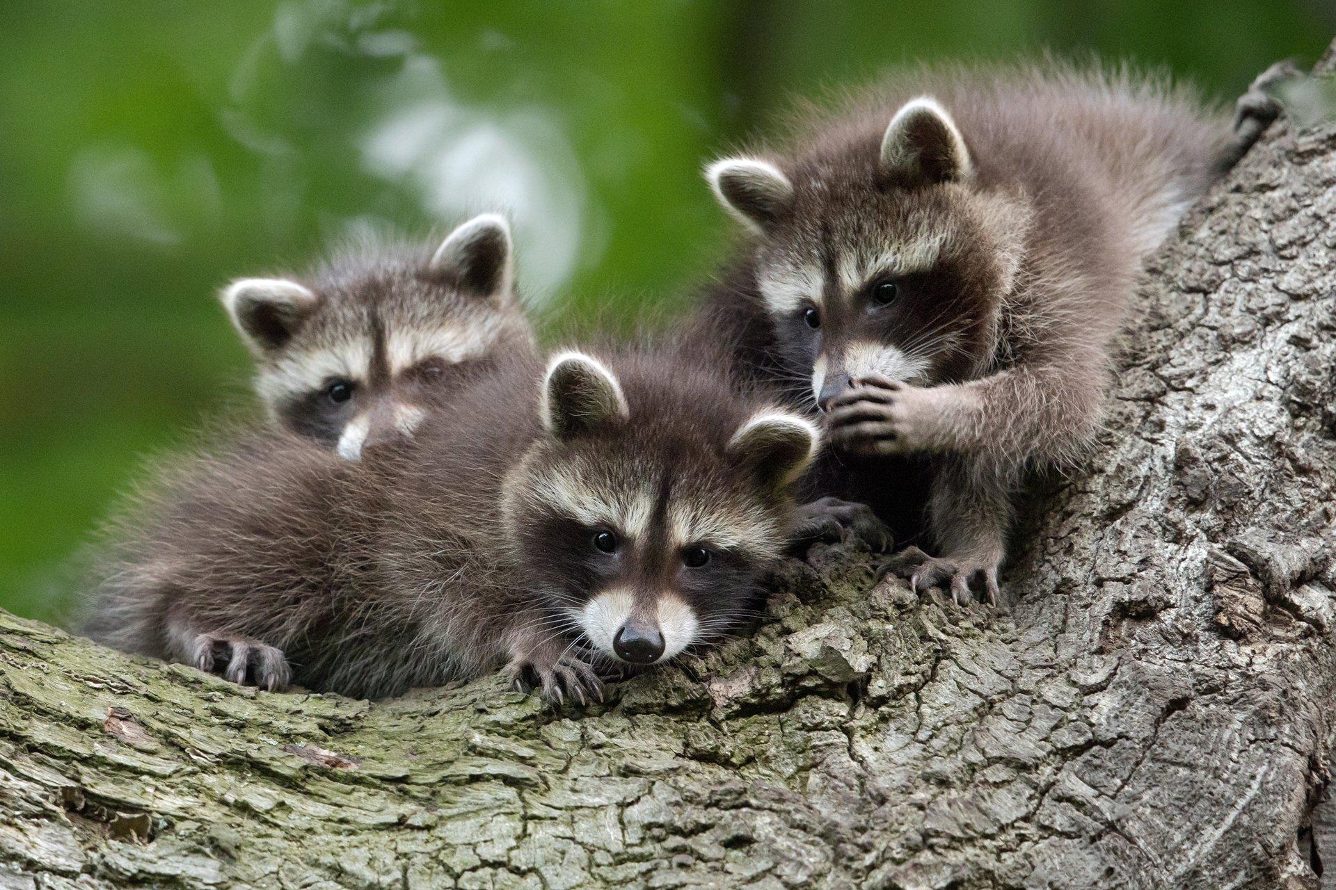 독일 카셀에서 포착된 비밀이야기 하는 너구리들. [©Jan Piecha/Comedywildlifephoto.com]