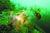 거문도 바닷속에서 낚시 쓰레기에 뒤엉킨 멸종위기 야생생물 2급이자 천연기념물인 해송. [사진 국시모]